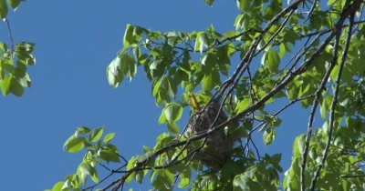 Baltimore Oriole Nest in Tree, Oriole Inside Working on Nest, Weaving Top Section of Nest
