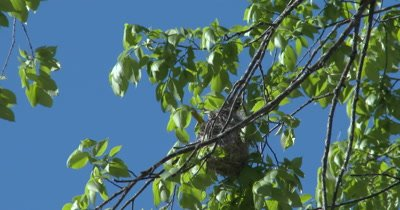 Windy Day, Baltimore Oriole Nest in Tree, Oriole Inside Working on Nest