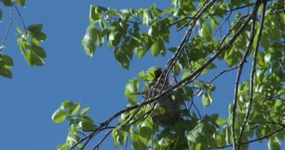 Baltimore Oriole Nest in Tree, Oriole Inside Working on Nest, Weaving Nest To Top of Structure Branch
