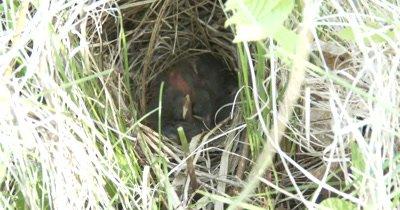 Sparrow Nest in Grass, ZI to CU Sleeping Chicks Inside