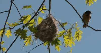 Baltimore Oriole Female Working on Nest in Tree, Enters and Exits Nest, Weaving Material in Beak