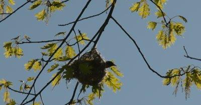 Baltimore Oriole Nest in Tree, Oriole Inside Weaving, Backlit By Sun