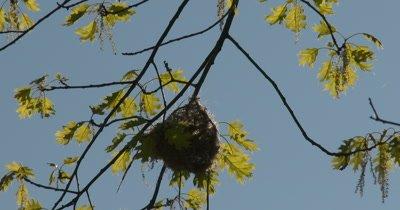 Baltimore Oriole Working in Nest in Tree, Weaving, Jostling Nest From Inside