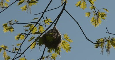 Baltimore Oriole Profile Silhouetted in Nest in Tree, Backlit by Sun, Oriole Inside Nest, Weaving