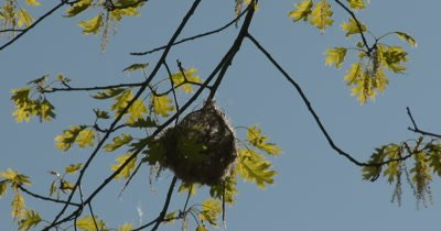 Baltimore Oriole Nest in Tree, Backlit by Sun, Nest Partially Constructed