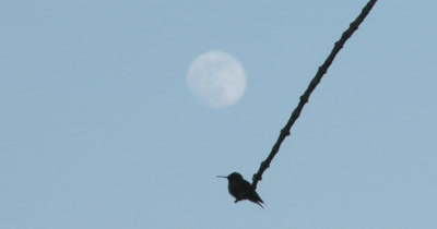 Hummingbird Silhouette, Moon in Background