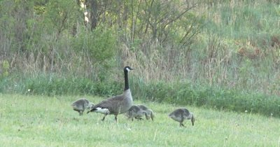 Canada Goose Family Walking Past, Last One Lingers, then Exits