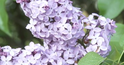 CU Common Lilac Flowers, Slight ZO, Dew on Green Leaves