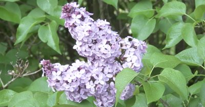 Common Lilac Flowers, Dew on Green Leaves, ZO to WA,