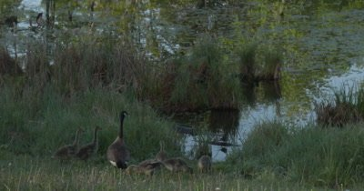 Canada Goose Family, Some Alarmed, All Quickly Move Toward Water