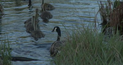 Canada Goose Parents Ushering Goslings Into Water for Safety, Gander Stops, Looks Back Toward Camera