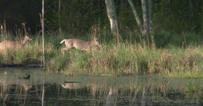 Two White-tailed Deer Walking, Jumping Along Pond Edge