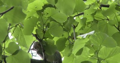Young Eastern Gray Squirrel Investigating Leaves of Basswood Tree, First Venture Out Of Nest