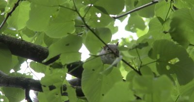 Young Eastern Gray Squirrel in Tree, Looks At Camera, Exits