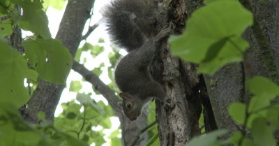 Young Eastern Gray Squirrel Clinging to Side of Tree, Turns, Chews on Bark