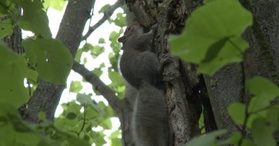 Young Eastern Gray Squirrel Chewing on Bark of Basswood Tree