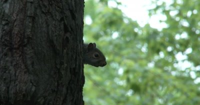 Eastern Gray Squirrel Peeking From Behind Basswood Tree