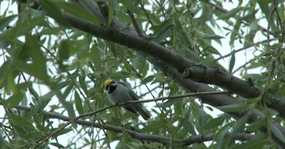 Golden-winged Warbler Sitting in Willow Tree, Looks Down At Camera Twice, Exits