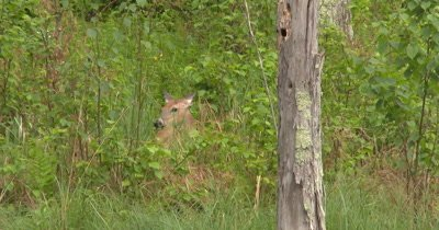 White-tailed Deer, Doe Lying in Field, Resting, Moves Ears, Lays Head Back on Body, Sleeps Again
