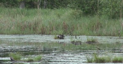 Wood Duck Hen and New Ducklings Preening, Muskrat Swims Through Frame