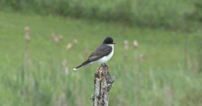 Eastern Kingbird Sitting on Branch, Looking Around