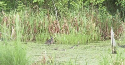 Family of Wood Ducks Paddling Through Pond, Hen Stops to Preen, Ducklings Feed