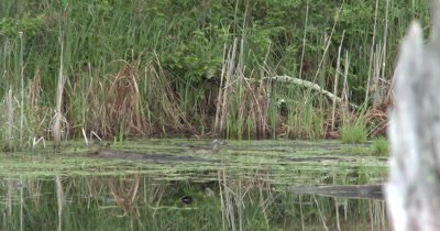 Wood Duck Hen in Pond, Young Duckling Scrambles to Catch Up
