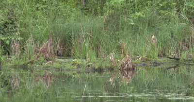 Pond Habitat, Reeds, Fallen Trees, Reflection, Deciduous Forest In BG