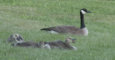 Canada Goose Goslings, Young Adults Sleepy, Yawning, Stretching, Adult Watching
