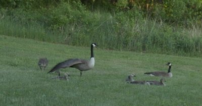 Canada Goose Family Resting on Grass, One Gosling Stretches, Walks, Gander Stretches Wing