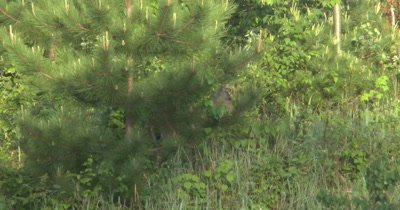 White-tailed Deer Standing, Browsing, Hidden Under Evergreen, Bird Flies Toward Camera