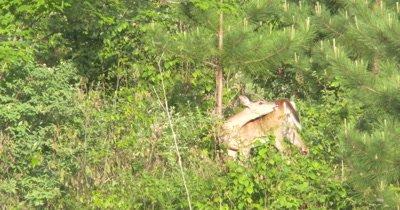 White-tailed Deer on Hillside, Staring Toward Camera, Licks Body, Stares Again