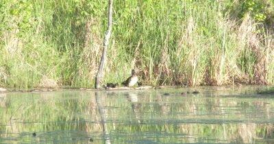 Wood Duck Hen and Ducklings, Hen Climbs Onto Log, All Groom, Preen