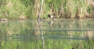 Wood Duck Hen and Ducklings In Wooded Setting, Preening on Log in Pond