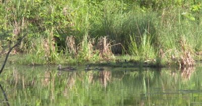 Wood Duck Hen and Family Swimming Through Wooded Pond Setting