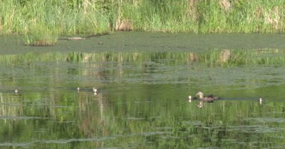 Wood Duck Hen and Ducklings Swimming Toward Camera in Pond Setting