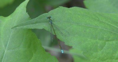 Sedge Sprite, Damselfly Resting On Leaf, Focus on Head and Abdomen
