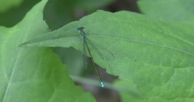 Sedge Sprite, Damselfly Resting On Leaf, Focus on Tail and Wings