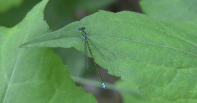 Sedge Sprite, Damselfly Resting On Leaf, Focus on Tail and Wings