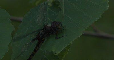 Female Widow Skimmer Dragonfly Quivering in Early Morning, Warming Up