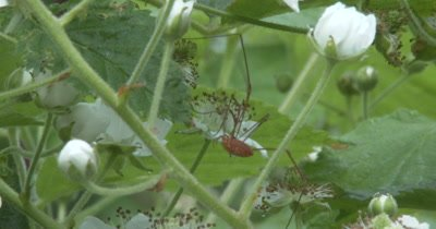 Harvestman Hunting Among Blackberry Blossoms