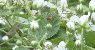 Harvestman Walking Among Blackberry Blossoms, Hunting