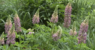 Wide View, Lupine Flowers and Plant