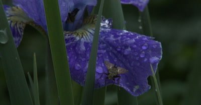 Common Fly Resting on Siberian Iris Petal, Dew Drops in Twilight