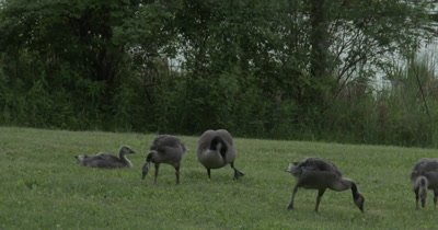 Family of Canada Geese Grazing on Grass in Field