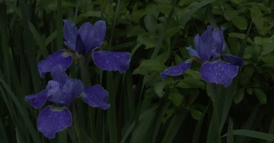 Siberian Iris in Evening Twilight, Appearance of UV-like Light Glowing From Flowers