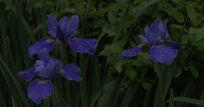 Siberian Iris in Evening Twilight, Appearance of UV-like Light Glowing From Flowers