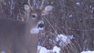 Small White-tailed Deer, Buck Walking in Winter Twilight, Exits