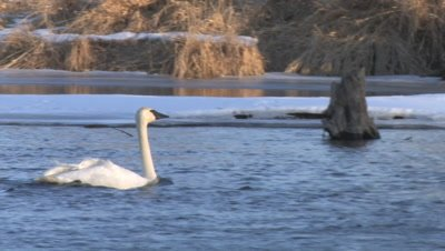 Trumpeter Swan Swimming Along Partially Frozen River, Wind Blowing Feathers