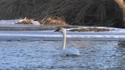 Trumpeter Swan Swimming in Icy River, Staring Onto Snowy Riverbank